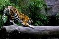 Картинка кошка, тигр, скалы, хищник, бревно