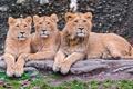 Картинка хищники, львы, троица