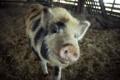 Картинка animals, pig, сарай