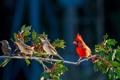 Картинка птичка, красная, энгри бёрдс, смородина, angry bird, ветка