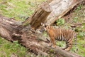Картинка кошка, трава, тигр, профиль, коряга, детёныш, котёнок