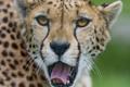 Картинка язык, зевает, гепард, морда, ©Tambako The Jaguar, кошка