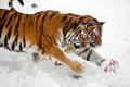 Картинка снег, кошки, тигр, игра, мяч, пара, амурский