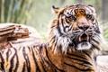 Картинка тигр, зверь, рычание