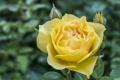 Картинка цветок, роза, лепестки, желтая
