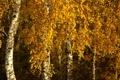 Картинка осень, листья, берёзы