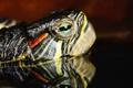 Картинка eyes, head, Turtle
