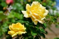 Картинка роза, лепестки, жёлтая