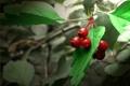 Картинка листья, ягоды, зеленые, красные