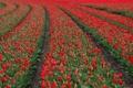 Картинка цветение, бутоны, поле, много, тюльпаны красные