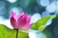 Картинка листья, лотос, блики, розовый