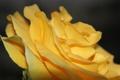 Картинка макро, цветы, природа, роза, лепестки, желтая, вблизи