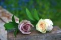 Картинка листья, бутоны, розы, макро, камень