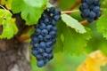 Картинка природа, виноградник, кусты