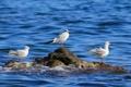 Картинка море, птицы, камень, чайки, трио