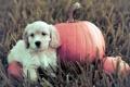 Картинка собака, щенок, тыква