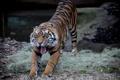 Картинка язык, кошка, тигр, пасть, суматранский