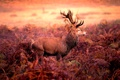 Картинка олень, Red deer stag, рога