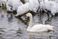 Картинка белый, снег, рябь, грация, лебедь, шея, водоём