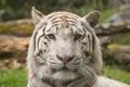 Картинка кошка, морда, белый тигр