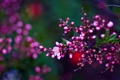 Картинка ветка, весна, Asetskaya, Purple Spring