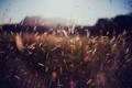 Картинка трава, солнце, природа, колоски