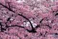 Картинка цветы, дерево, вишни