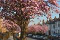 Картинка цветы, дерево, улица, Muswell Hill Cherry Blossom
