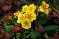 Картинка желтые, весна, земля, примула, цветы