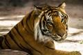 Картинка взгляд, морда, тигр, хищник