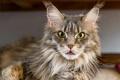 Картинка кот, морда, ©Tambako The Jaguar, мейн-кун, взгляд, кошка