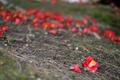 Картинка цветы, земля, травка, бутоны, веточки, камелия