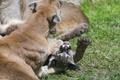 Картинка трава, игра, лапа, детёныш, котёнок, пума, горный лев