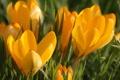 Картинка макро, цветы, оранжевый, весна, бутоны, первоцвет, Крокусы