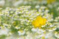 Картинка цветы, ромашки, лето