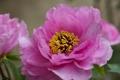 Картинка цветы, куст, розовые, пионы