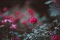 Картинка цветок, роза, куст, лепестки