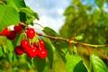 Картинка листья, ягоды, дерево, ветка, черешня