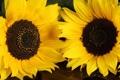 Картинка подсолнухи, цветы, желтые
