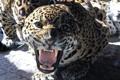 Картинка хищник, пасть, ягуар