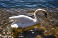 Картинка белый, вода, птица, лебедь