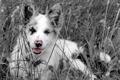 Картинка поле, цвет, собака, нос