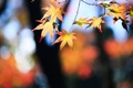 Картинка осень, листья, дерево, ветка, желтые, клен, крона