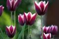 Картинка фокус, фиолетовые, тюльпаны, боке, каёмка