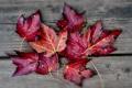 Картинка листья, фон, красные, осенние