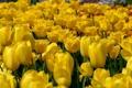 Картинка желтые, тюльпаны, бутоны, много