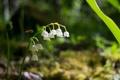 Картинка цветок, макро, ландыш