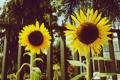 Картинка подсолнухи, цветы, забор, ограда, желтые, лепестки