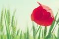 Картинка пшеница, поле, цветок, небо, макро, красный, мак