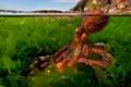 Картинка вода, водоросли, осьминог, щупальца, Средиземное море